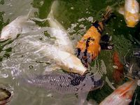 Kolam 070211 Ikan 05