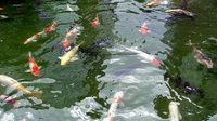 Kolam 070211 Ikan 06