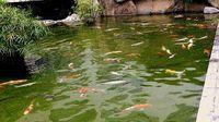 Kolam 070211 Ikan 09